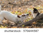 Stock photo cute jack russel dog and domestic kitten best friends 570644587