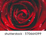 red rose close up. vintage... | Shutterstock . vector #570664399