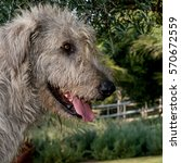 Small photo of Grey Irish Wolfhound