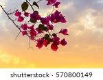 Pink Bougainvillea Flowering ...