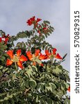 Small photo of African Tuliptree (Spathodea campanulata) Nicaragua
