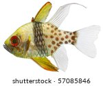pyjama cardinal fish isolated... | Shutterstock . vector #57085846