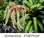 Small photo of A beautiful specimen of the Aechmea Blanchetiana Bromeliad plant