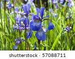 Siberian Iris   Iris Sibirica....