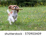 Small photo of dog Cavalier King Charles Spaniel, running, playing, holding a stick in the muzzle