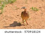 Crested Francolin Camouflaging...