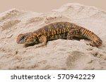 Uromastyx Geyri Lizard In Sand...
