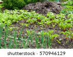 fresh onion and beetroot plants ...