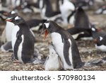 gentoo penguin with chick ... | Shutterstock . vector #570980134