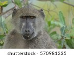 baboon eating grass shoots in... | Shutterstock . vector #570981235