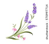 bunch of lavender flowers on a... | Shutterstock .eps vector #570997714