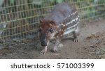 Small photo of Guanta in the El Coca Zoo. Scientific name: Agouti paca