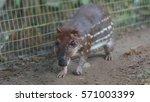 Small photo of Guanta in the El Coca Zoo. Scientific name: Agouti paca