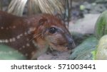 Small photo of Approach to the head of the Guanta in the El Coca Zoo. Scientific name: Agouti paca