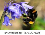 Bumble Bee On A Bluebell