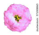 natural pink rose flower... | Shutterstock . vector #571008865