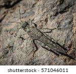 Gran Canaria Sand Grasshopper...