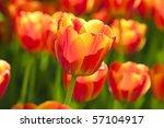 Bright Orange Yellow Tulips