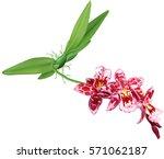 orchid flowers beallara of...   Shutterstock .eps vector #571062187
