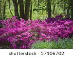 Vibrant pink azaleas in the woods are part of the landscape at The Bayard Cutting Arboretum on Long Island. - stock photo