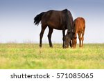 Mare And Colt Grazing On Meadow