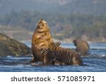Steller Sea Lion  Eumetopias...