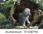 Arctic Wolf Pup In Log