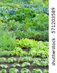 Small photo of Fresh green lettuce and bush bean plants on a vegetable garden ground with other vegetables in the background.