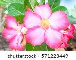 pink bignonia.   Shutterstock . vector #571223449