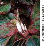 Small photo of aglaonema plant