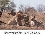 lion  panthera leo  kruger... | Shutterstock . vector #571255207