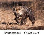 spotted hyena  crocuta crocuta  ... | Shutterstock . vector #571258675
