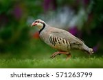 Small photo of Barbary partridge, Alectoris barbara, bird in the green grass with blurred violet flower at the background, animal in the nature habitat, Spain. Wildlife scene from nature. Animal in the wood.