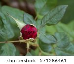 red rose bud valentines day... | Shutterstock . vector #571286461