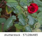 red rose bud valentines day... | Shutterstock . vector #571286485