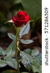 red rose bud valentines day... | Shutterstock . vector #571286509