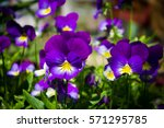 Pansy Flower.