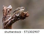 short toed treecreeper. certhia ... | Shutterstock . vector #571302907