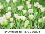 background of blooming tulips.... | Shutterstock . vector #571330075