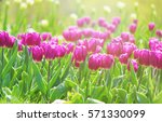 background of blooming tulips.... | Shutterstock . vector #571330099