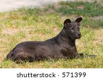 Patterdale Terrier Resting