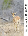 Small photo of Impala (Aepyceros melampus) male standing in bush, Kruger National Park, South Africa
