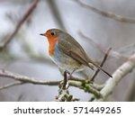 european robin  erithacus... | Shutterstock . vector #571449265