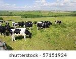 dairy cows in a field peak... | Shutterstock . vector #57151924