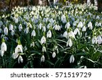 snowdrop flowers in a patch of...   Shutterstock . vector #571519729