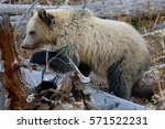 cinnamon grizzly bear | Shutterstock . vector #571522231