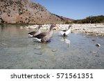 Goose Near The Kournas Lake ...