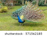 Peacock In Holland Park  London