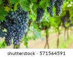 grape harvest | Shutterstock . vector #571564591