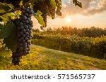 grape harvest | Shutterstock . vector #571565737